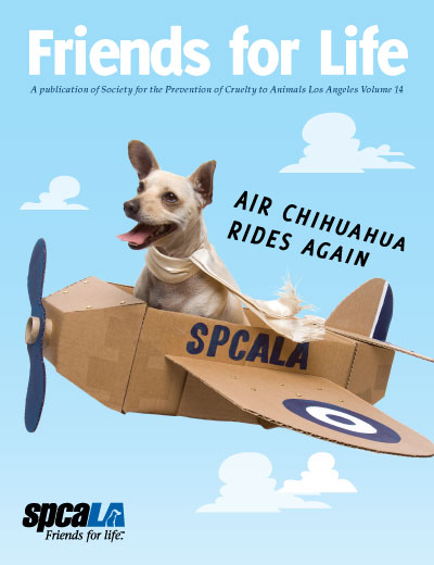 Chihuahua with scarf in cardboard airplane